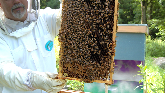 Beekeeper in a full suit holding a swarm of bees